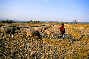 Yao lady leading cows, Pom Dom Than Yao village, Maung Sing, Laos, Indochina, Southeast Asia, Asia