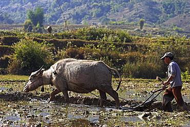Man ploughing field with water buffalo near Wan Sai village (Aku tribe), Kengtung (Kyaing Tong), Shan State, Myanmar (Burma), Asia