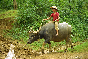 Small boy riding a water buffalo at Mai Chau, Vietnam, Indochina, Southeast Asia, Asia