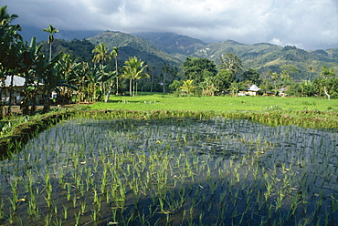 Rice paddy fields, Moni, island of Flores, Indonesia, Asia