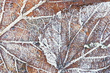 Frost covered autumnal leaves on grass, Peterborough, Cambs, England
