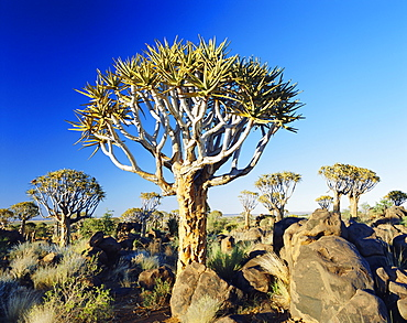 Quivertrees (Kokerbooms) in the Quivertree Forest (Kokerboowoud) near Keetmanshoop, Namibia