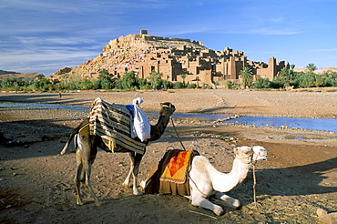 Camels by riverbank with Kasbah Ait Benhaddou (Ait-Ben-Haddou), UNESCO World Heritage Site, in background, near Ouarzazate, Morocco, North Africa, Africa