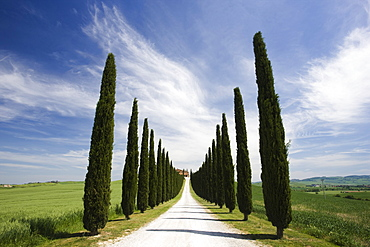 Avenues of cypress trees and driveway leading to farmhouse, near Pienza, Tuscany, Italy, Europe - 321-4496