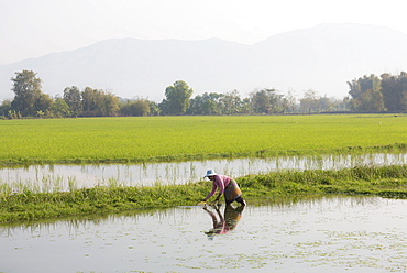 Woman working in paddy fields near Kengtung (Kyaingtong), Shan State, Myanmar (Burma), Asia