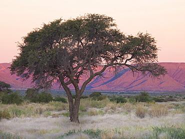 Camelthorn tree against sandstone mountains lit by the last rays of light from the setting sun, near Sesriem, Namib Desert, Namib Naukluft Park, Namibia, Africa
