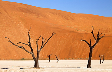 Dead camelthorn trees said to be centuries old against the towering orange sand dunes of the Namib Desert at Dead Vlei, Namib Desert, Namib Naukluft Park, Namibia, Africa