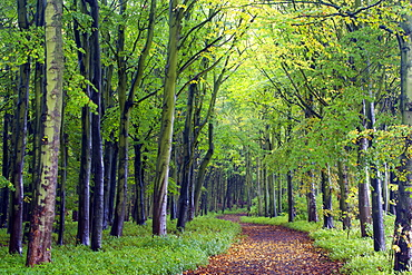 Beech woodland in spring with path snaking between the trees, Alnwick Garden, Alnwick, Northumberland, England, United Kingdom