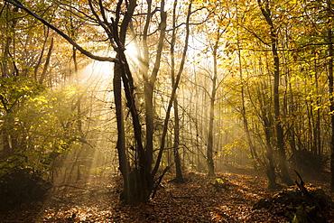 Sunbeams bursting through misty autumnal woodland, Limpsfield Chart, Oxted, Surrey, England, United Kingdom, Europe