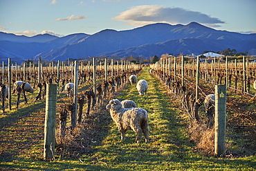 Sheep graze amongst vines at a winery near Blenheim, Marlborough, South Island, New Zealand, Pacific
