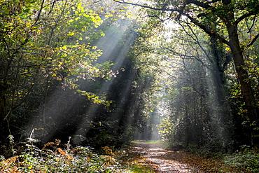 Autumn forest path, Surrey, England, United Kingdom, Europe