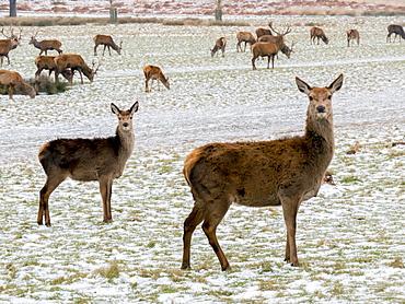 Deer in winter, Richmond Park, Richmond, London, England, United Kingdom, Europe