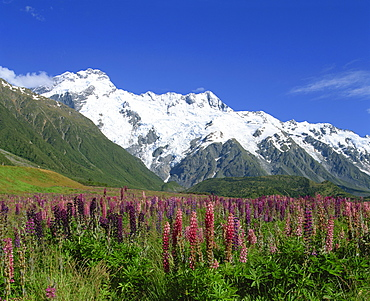 Alpine flowers before Mount Cook, Canterbury, South Island, New Zealand, Pacific