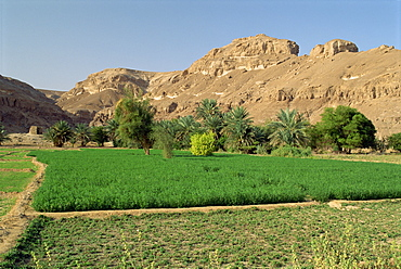 Fertile fields and palm trees, with arid hills behind, near Tarim, in the Wadi Hadramaut, south Yemen, Middle East