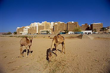 Camels, with the backs of the tall mud brick houses on the south side of the walled city of Shibam beyond, UNESCO World Heritage Site, Wadi Hadramaut, south Yemen, Middle East