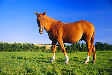 Chestnut horse on the bank of the Cuckmere River, Alfriston, East Sussex, England, UK