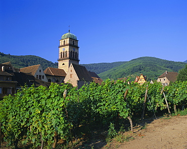 Vines in vineyards and tower of the church of Ste. Croix, Kaysersberg, Haut-Rhin, Alsace, France, Europe