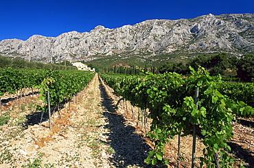 Vinyard at the foot of Motagne Ste-Victorie near Aix-en-Provence, Bouches-de-Rhone, Provence-Alpes-Cote-d'Azur, France, Europe
