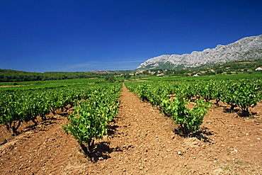 Vineyard at foot of Mont Ste.-Victoire, near Aix-en-Provence, Bouches-du-Rhone, Provence, France, Europe