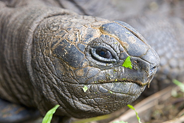 Head of Seychelles giant tortoise (Geochelone gigantea) at the Jardin du Roi spice garden near Anse Royale, Anse Royale district, Island of Mahe, Seychelles, Africa