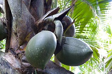 Giant fruit of coco de mer palm (Lodoicea maldivica) in the Vallee de Mai Nature Reserve, UNESCO World Heritage Site, Baie Sainte Anne district, Island of Praslin, Seychelles, Africa