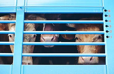 Cattle loaded in truck for market, Andorra