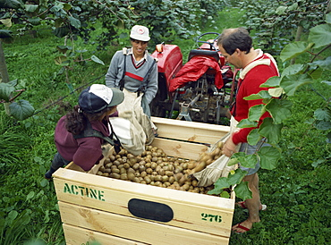 Pickers unloading kiwi fruit into a trailer amongst vines in South Auckland, North Island, New Zealand, Pacific