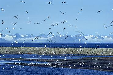 Gulls inhabit the rocky shallows near Longyearbyen airport, Svalbard, Arctic, Norway, Scandinavia, Europe - 395-173