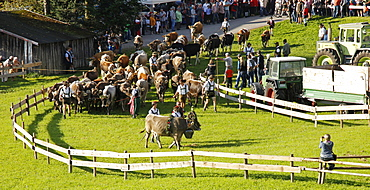 Viehscheid, Annual Driving down of the Cattle from the Summer Mountain Pastures to the Valley, Obermaiselstein, Bavaria, Germany, Europe