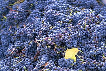 Sangiovese grapes, Chianti, Tuscany, Italy, Europe
