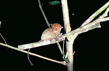 Spectral tarsier at night, Sabah, Malaysia, island of Borneo, Southeast Asia, Asia