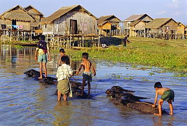 Children riding water buffaloes, Inle Lake, Myanmar, Asia