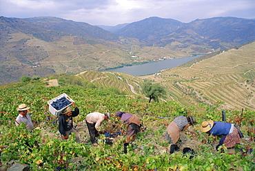 Grape pickers, Quinta do Vesuvio, Douro Valley, Portugal, Europe