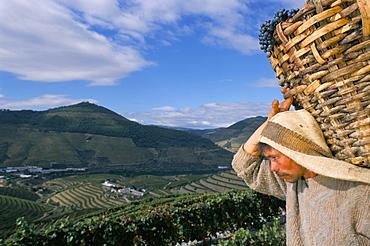 Grape picker with basket, Quinta do Bomfim, Douro region, Portugal, Europe