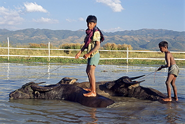 Children riding water buffaloes, Inle Lake, Shan State, Myanmar (Burma), Asia