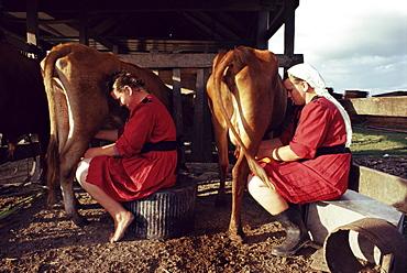 Traditional Mennonite girls miling cows, Camp 9, Shipyard, Belize, Central America