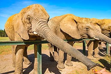 Elephants feeding at Kynsna Elephant Park, Knysna, Western Cape, South Africa, Africa
