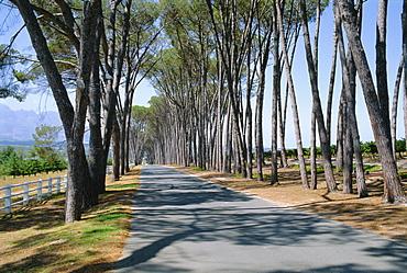 Avenue of trees, Stellenbosch, South Africa
