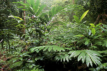 Broad leaved plants and ferns grow at base of dipterocarp rainforest, Danum Valley Conservation Area, Danum Valley, Sabah, Malaysia, island of Borneo, Southeast Asia, Asia