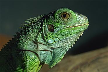 Serpentarium green or common iguana, Skye, Scotland, United Kingdom, Europe