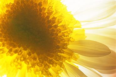 Portrait of a white and yellow chrysanthemum flower, underlit