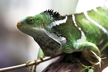 Fijian crested iguana, endemic to Fiji, Brachylophus vitiensis, one of the world's rarest reptiles, Kulu Wildlife Park, Fiji, Pacific Islands, Pacific