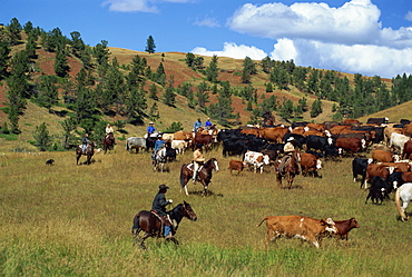 Cattle round-up in high pasture, Lonesome Spur Ranch, Lonesome Spur, Montana, United States of America, North America