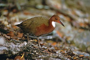 Close up of one of the world's rarest birds, Aldabra rail, last flightless bird of the Indian Ocean, Dryolinnas cuvieri aldabranus