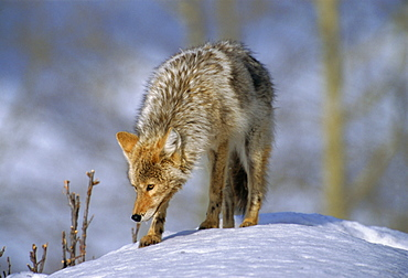 Coyote (Canis latrans), weighing 30-40 lbs, less than half the weight of a wolf, Yellowstone National Park, Wyoming, USA