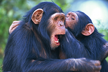 Chimpanzee sanctuary (Pan troglodytes), Sweetwaters, Kenya, East Africa, Africa