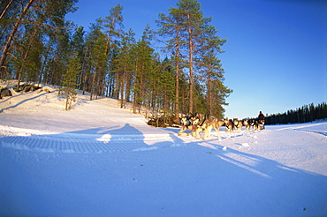 Caveris Husky Safaris, pure-bred Siberian huskies on the way home at the end of the day, Karelia, Finland, Scandinaiva, Europe