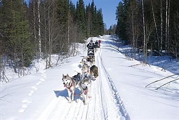 Driving Siberian huskies, Karelia, Finland, Scandinavia, Europe