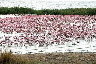 Kamfers Dam, a large pan north Kimberley, an important wetland with breeding colony of lesser flamingoes (Phoenicopterus minor), Northern Cape, South Africa, Africa
