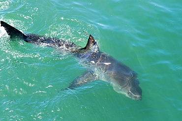 Satellite tagged great white shark (Carcharodon carcharias), Gansbaai, Klein Bay, Western Cape, South Africa, Africa